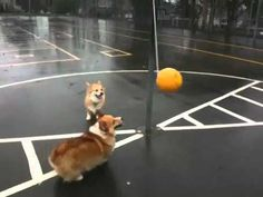 Corgis playing tetherball - what I watch after a particularly tough day :)