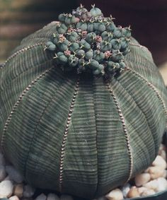 Euphorbia obesa - With fruits