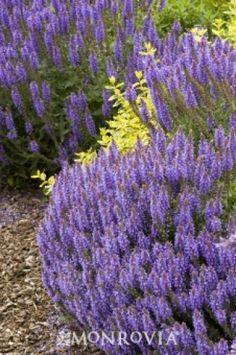 Agastache Hyssop 'Blue Fortune' Agastache is a genus of plant available in a wide variety and becoming popular.