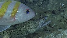 AAn oblique-banded snapper (Pristipomoides zonatus) and moray eel (Gymnothorax berndti). Deep Water, Ocean, Explore, Pets, Animals, Mariana, Animales, Animaux, The Ocean