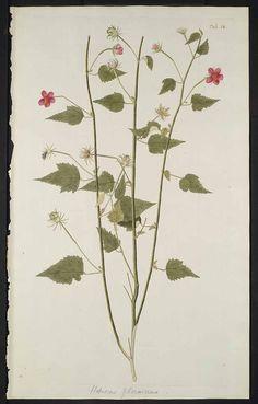 hibiscus flower vintage botanical print