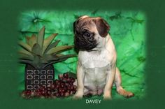 """Fairytailpuppies """"where pets are family too - DAVEY"""