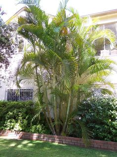 One of the nicest clumps I have seen in Los Angeles county- this on in Beverly Hills areca Palm butterfly Palm