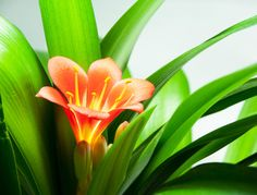 Comment faire refleurir un clivia ? Clivia is an indoor plant that offers beautiful bloom throughout Fleur Orange, Neals Yard Remedies, Garden Online, Christmas Cactus, Rare Flowers, Plantar, Green Garden, Green Trees, Growing Plants