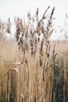 Cabin & Cottage - robert-hadley: Reeds by Haarkon Dorset Coast, Norfolk Coast, Field Of Dreams, Call Of The Wild, Art Prompts, Felder, Beige Aesthetic, Flowers Nature, The Great Outdoors