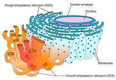 Endoplasmic Reticulum - Bing Images