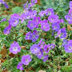 'Rozanne' Geranium It offers gorgeous lavender-blue flowers from early summer all the way to frost, attractive variegated foliage, and it's a cinch to care for. 'Rozanne' is definitely a winner! Name: Geranium 'Rozanne' Size To 1 foot tall and 3 feet wide