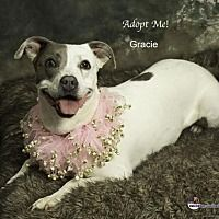 Acton, California - Pit Bull Terrier. Meet Gracie, a for adoption. https://www.adoptapet.com/pet/16301604-acton-california-pit-bull-terrier-mix