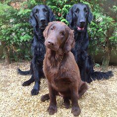 Fenna , Cayenne and Stella - Bel Ami Belge Flatcoated Retrievers