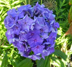 Phlox : paniculata : blue paradise