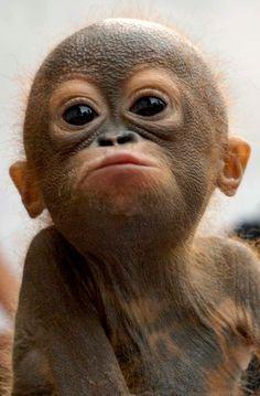Baby orangutan. #animals #endangeredspecies