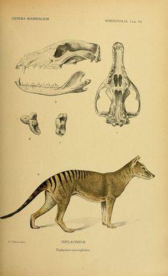 Thylacine, Genera Mammalium, Madrid,1919. biodiversitylibrary.org/page/32474807  (by BioDivLibrary)