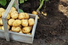 Potato Crates - How To Grow Your Best Potato / Sweet Potato Crop Ever!