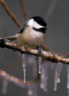 Chickadee and Icicles 5x7 Matted Bird Photograph by NatureIsArt