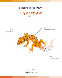 A tangerine leopard gecko has a tangerine or orange coloration throughout the body and head.