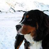 Foster dog, Ilio, Bernese Mountain Dog