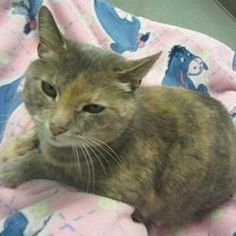 Pictures of Nana a Domestic Shorthair for adoption in Franklin, IN who needs a loving home.