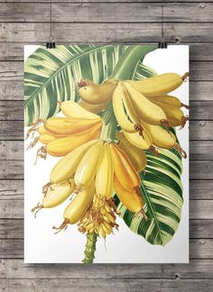 Items similar to Vintage banana palm botanical illustration Printable art retro tropical wall art banana leaf retro banana print vintage illustration on Etsy Botanical Drawings, Botanical Prints, Arte Pallet, Illustrations Vintage, Illustration Art, Banana Art, Plant Painting, Tropical Art, Leaf Art