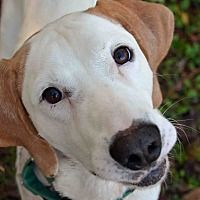 Pictures of 10313521 SONNY a Pointer for adoption in Brooksville, FL who needs a loving home.