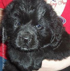 """Newfoundland puppy -- """"There is no psychiatrist in the world like a puppy licking your face.""""   ~ Bern Williams"""