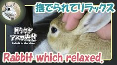 撫でられてリラックス【ウサギのだいだい 】 Rabbit which relaxed. 2016年2月5日