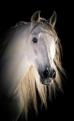 Beautiful Natural Wild Horse White Grey Flying Mane Quality Canvas Print