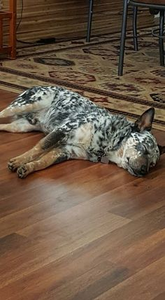 Mottling is amazing 😍 Aussie Cattle Dog, Austrailian Cattle Dog, Cattle Dogs, Baby Dogs, Pet Dogs, Dogs And Puppies, Dog Cat, Doggies, Blue Heelers
