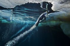World Press Photo - Paul Nicklen 1st prize 2013 nature. Emperer releasing jet pack of air bubbles from between its feathers.