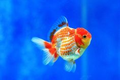 Oranda..  Please visit http://goldfishkeepers.com/GoldfishCare.php for basic goldfish care...