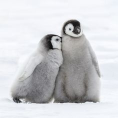World Penguin Day 2017 - Penguin Facts Penguin Day, Penguin Love, Cute Penguins, Cute Baby Penguin, Penguin Bird, Penguin Pictures, Animal Pictures, Animals And Pets, Funny Animals