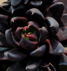 Echeveria affinis'Black Knight'