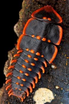 """Trilobite beetle, Trilobite larva or """"Sumatran Trilobite larva"""". The males are much smaller, 8–9 mm, with a beetle-like appearance. Most are found in tropical rainforests, notably in India and South-east Asia."""