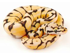 Bumble Bee Desert Ball Python