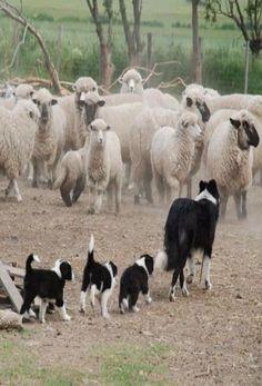 Sheep & Border Collie's