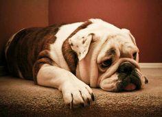 Bulldogs deserve pet friendly carpet