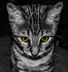 A cat with orange eyes.