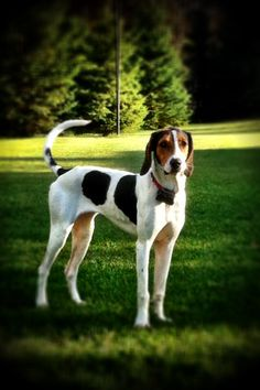 Treeing Walker Coonhound! Lucy is the sweetest girl ❤️