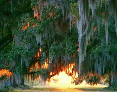 Sun through Live Oaks | Taken at Fontainebleau State Park. O… | Flickr