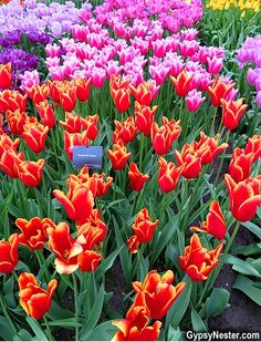 Riot of color! Can't believe all the different kinds of tulips there are in Holland! See more: http://www.gypsynester.com with @Viking Cruises in @Visit Holland