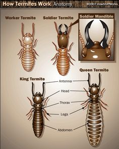 Do organic termite control methods really work? When it comes to completely exterminating colonies of termites within their home, the reality of the situation is that they certainly can't hurt. Signs Of Termites, Types Of Termites, Termite Pest Control, Human Digestive System, Household Pests, Orange Oil, School, Biology, Creative