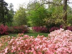 How Do I Grow Azaleas?: There are a few ways to guarantee your success with azaleas. Just follow these easy guidelines.