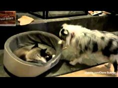 ▶ Cats Stealing Dogs Beds Compilation - YouTube