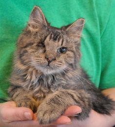 Will is a tender-hearted baby boy debuting for adoption at Nevada SPCA (www.nevadaspca.org).  He loves hugs, but if you give him too many kisses on his cheeks he will gently put his paw on your lips to tell you to stop and just hold him close.  Will is a medium-hair brown tabby kitten with a leonine appearance, about 6 months young, now neutered, and good with other cats.  He was born without a fully developed right eye, but moves about very well.  Please ask for Will by name when you visit.