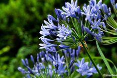 写真 アガパンサス 202001 梅雨が明けないね My Works, Plants, Flora, Plant