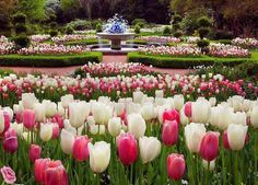 A lush of tulips in a beatiful set garden White Tulips, Tulips Flowers, Flowers Nature, Spring Flowers, Pink White, Lavender Flowers, Tulips Garden, Water Garden, Flowers For You