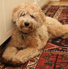 85 Best Labradoodle Puppies images in 2019 | Labradoodle