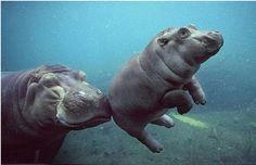 happy hippos.