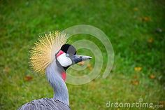 Bird closeup colours colourful crane crowned fauna grey head wildlife africa african amazing animal beak beautiful bill blazonry colours colourful crown
