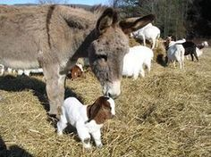 """Not only are donkeys adorable and good hiking pals, but they will guard """"their"""" sheep, goats, and alpacas against coyotes. Modern Farmer's Guide to Guard Donkeys - Modern Farmer"""