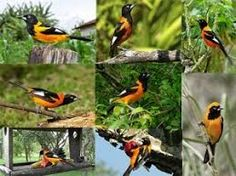 Resultado de imagem para passarinhos do brasil